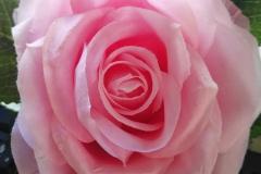 Schwimmblumen Schwimmrose rosa