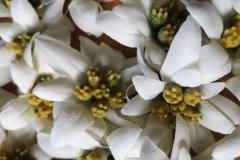 Edleweißblüten